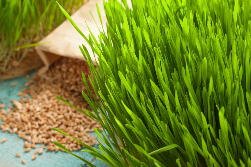 Как выращивать пшеницу в домашних условиях для еды?